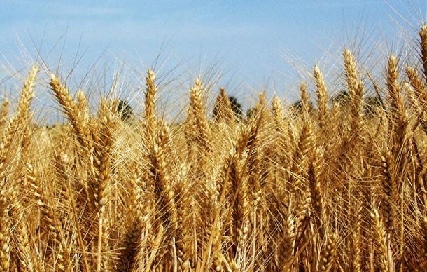 Don negli alimenti: l'Efsa analizza i prodotti a base di grano