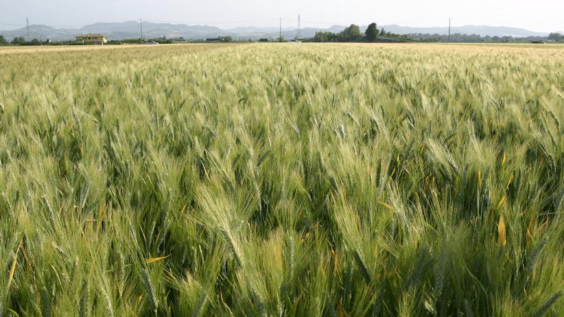 Individuati i meccanismi di resistenza alla siccità dei cereali