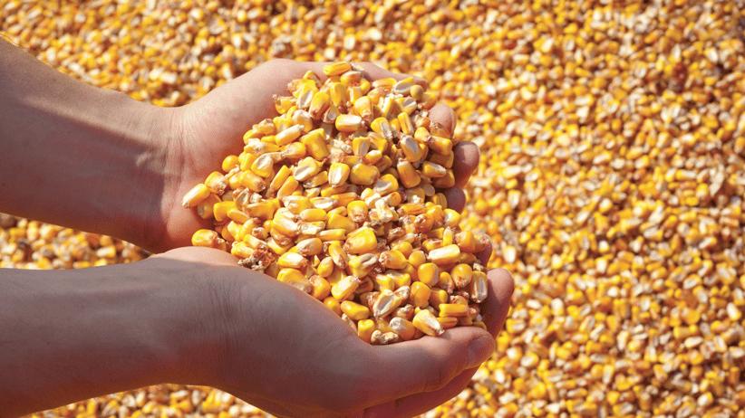 Un memorandum per promuovere la produzione di mais