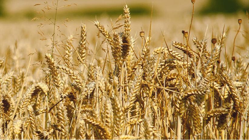 Crescono gli aiuti pac per grano duro e riso