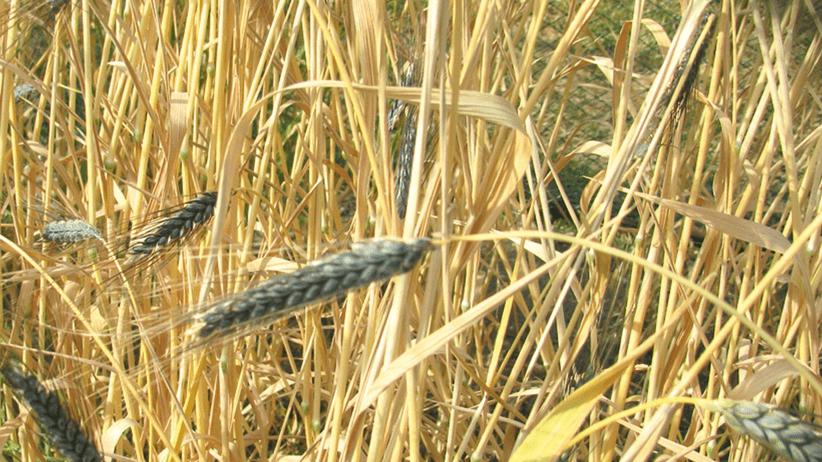 Il genoma del farro selvatico servirà per sviluppare nuove varietà di grano duro
