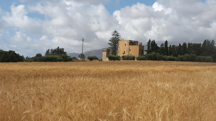 Grano duro 2018 in Sicilia, buone le proteine ma crolla il peso ettolitrico
