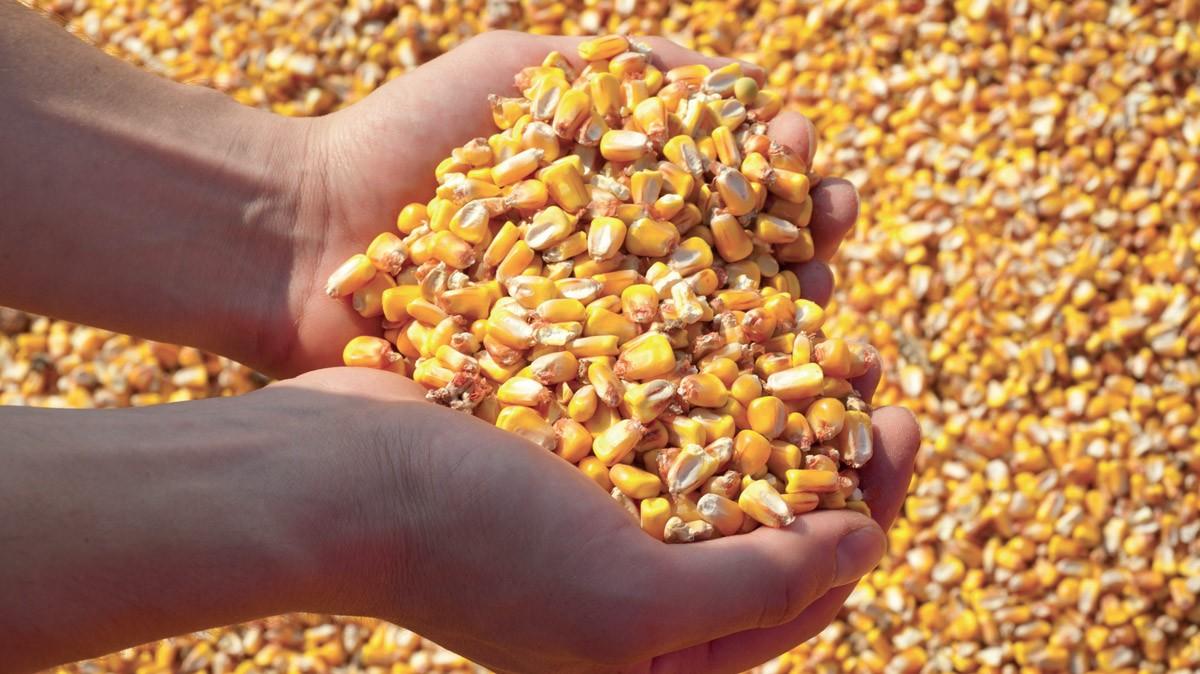 Mais, l'inibizione delle aflatossine