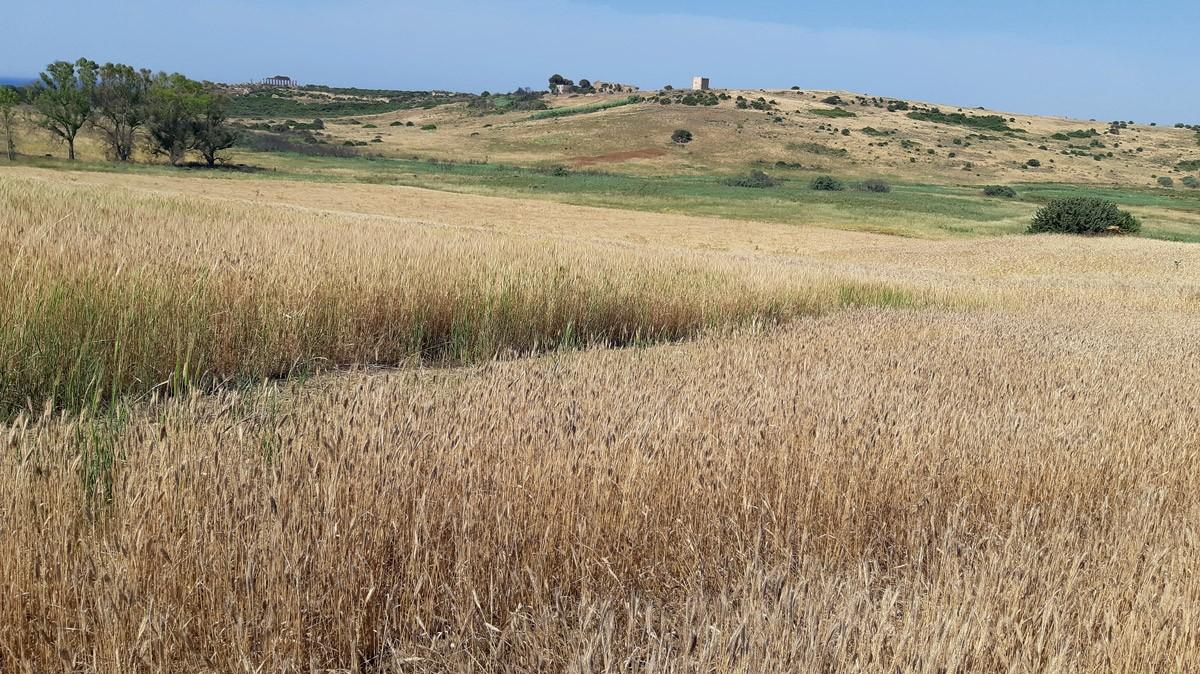 La qualità del grano duro 2019 in Sicilia