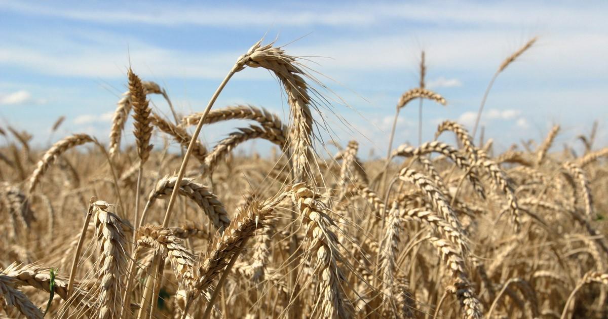 La gestione dei contaminanti nelle filiere cerealicole