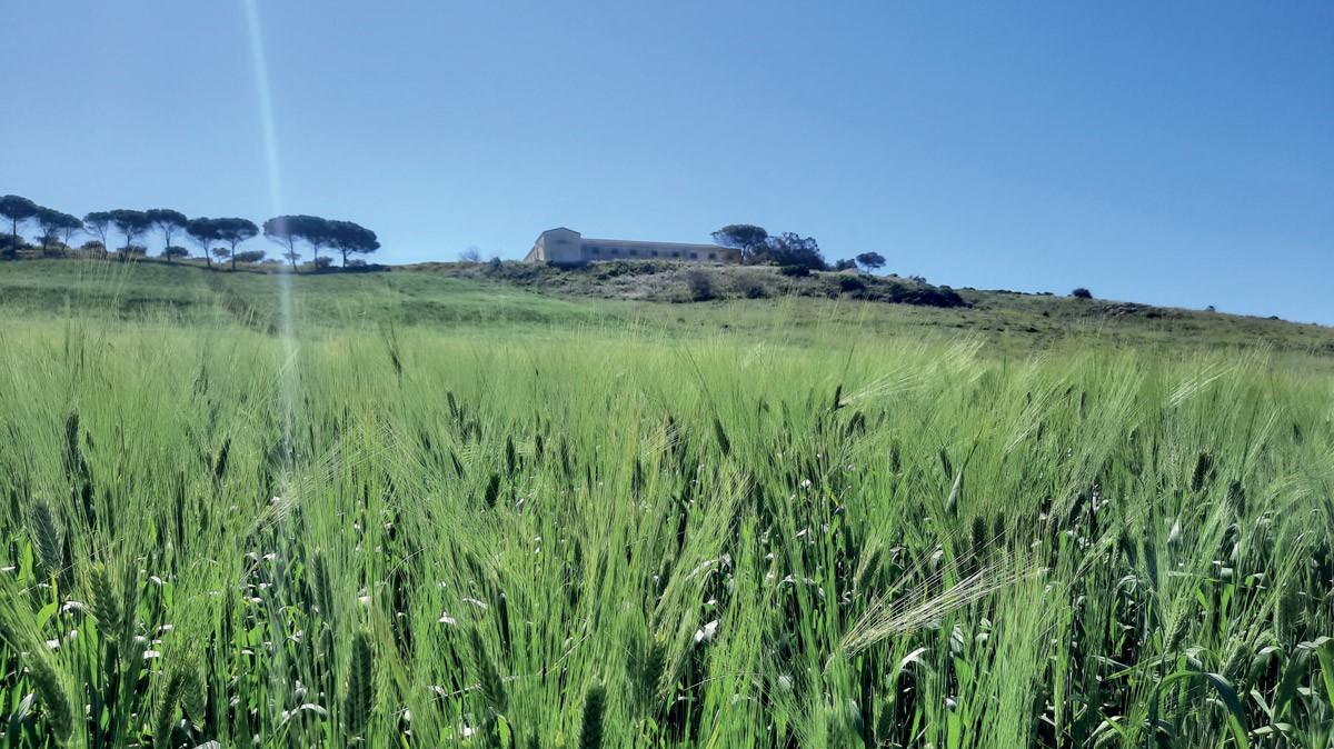 La qualità merceologica del grano duro siciliano