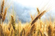 Produzione di grano duro ancora in calo