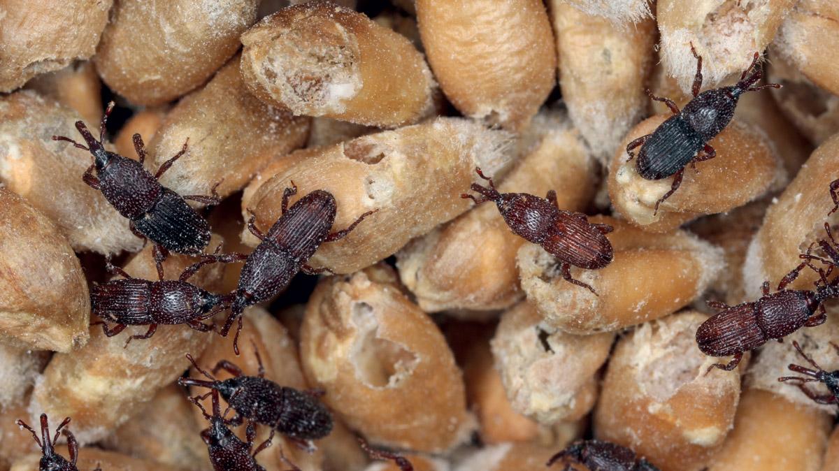 Focus sulla disinfestazione nella filiera cerealicola